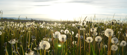 field of dandelion seeds